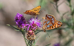 Queen of Spain fritillary (Issoria lathonia) butterfly, two nectaring on Knapweed. Pargas, Aboland,Finland. July.  -  Jussi Murtosaari