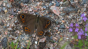 Large wall brown (Lasiommata maera) butterfly, female resting on ground. Taipalsaari, South Karelia, Finland.  -  Jussi Murtosaari