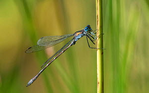 Emerald spreadwing damselfly (Lestes dryas) male resting on stem. Jamsa, Central Finland. September.  -  Jussi Murtosaari