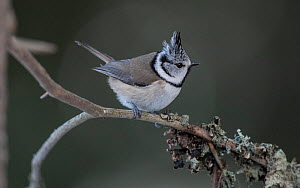 Crested tit (Lophophanes cristatus) perched on branch. Jamsa, Central Finland. January.  -  Jussi Murtosaari