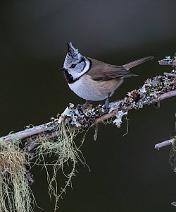 Crested tit (Lophophanes cristatus) perched on lichen covered branch. Jamsa, Central Finland. January.  -  Jussi Murtosaari