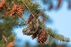 Two-barred crossbill (Loxia leucoptera) female feeding on Douglas fir cones. Jyvaskyla, Central Finland. December.  -  Jussi Murtosaari