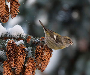 Two-barred crossbill (Loxia leucoptera) female perched on snow covered Spruce branch, feeding on seeds from cones. Jyvaskyla, Central Finland. December.  -  Jussi Murtosaari