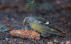 Two-barred crossbill (Loxia leucoptera) female feeding on seeds from Spruce cone. Jyvaskyla, Central Finland. December.  -  Jussi Murtosaari