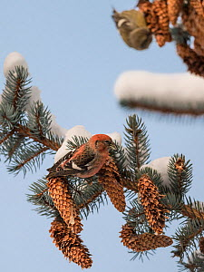 Two-barred crossbill (Loxia leucoptera) male feeding on Spruce cone seeds, on snow covered branch. Jyvaskyla, Central Finland. December.  -  Jussi Murtosaari