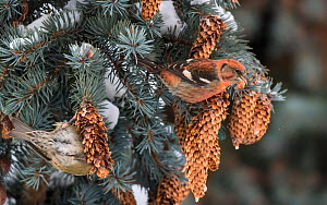 uncatalogued Two-barred crossbill (Loxia leucoptera) pair feeding on seeds from Spruce cones. Jyvaskyla, Central Finland. December.  -  Jussi Murtosaari
