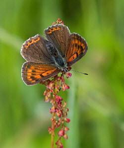 Purple-edged copper (Lycaena hippothoe) butterfly female. Luhanka, Central Finland. June.  -  Jussi Murtosaari