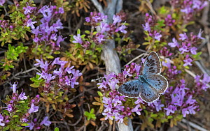 Large blue (Maculinea arion) butterfly nectaring on Thyme (Thymus sp). Liperi, North Karelia, Finland. July.  -  Jussi Murtosaari