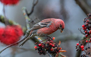 Pine grosbeak (Pinicola enucleator) male feeding on Rowan (Sorbus sp) berries. Muurame, Central Finland. November.  -  Jussi Murtosaari