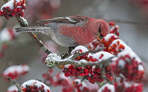 Pine grosbeak (Pinicola enucleator) male feeding on snow covered Rowan berries, perched on branch. Jyvaskyla, Central Finland. December.  -  Jussi Murtosaari