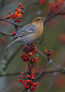 Pine grosbeak (Pinicola enucleator) female feeding on Rowan berries, perched on branch. Jyvaskyla, Central Finland. December.  -  Jussi Murtosaari