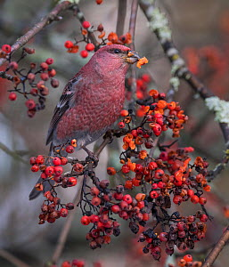 Pine grosbeak (Pinicola enucleator) male feeding on Rowan berries, perched in tree. Jyvaskyla, Central Finland. December.  -  Jussi Murtosaari