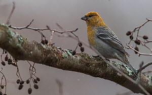 Pine grosbeak (Pinicola enucleator) female perched on Alder branch. Muurame, Central Finland. November.  -  Jussi Murtosaari