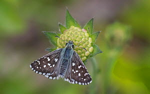 Large grizzled skipper (Pyrgus alveus) butterfly, male on Scabious flower. Kitee, North Karelia, Finland. July.  -  Jussi Murtosaari