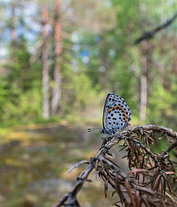 Chequered blue (Scolitantides orion) butterfly resting on branch in woodland. Lappeenranta, South Karelia, Finland. June.  -  Jussi Murtosaari
