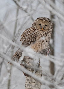 Ural owl (Strix uralensis) perched on tree snag having caught a Red squirrel, in snow. Jyvaskyla, Central Finland. January.  -  Jussi Murtosaari