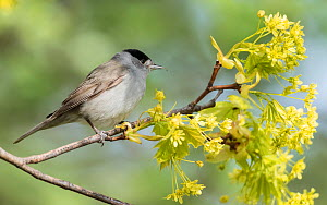 Blackcap (Sylvia atricapilla) male perched on branch amongst blossom. Pargas, Aboland, Finland. May.  -  Jussi Murtosaari