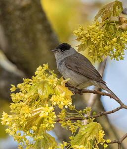 Blackcap (Sylvia atricapilla) male perched in tree amongst blossom. Pargas, Aboland, Finland. May.  -  Jussi Murtosaari