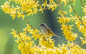 Barred warbler (Sylvia nisoria) male perched in tree, surrounded by yellow flowers. Pargas, Aboland, Finland. May.  -  Jussi Murtosaari