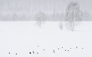 Lapwing (Vanellus vanellus) flock in snow, forest in background. Laukaa, Central Finland. April 2019.  -  Jussi Murtosaari