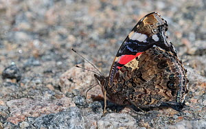 Red admiral (Vanessa atalanta) butterfly resting on ground. Jyvaskyla, Central Finland. August.  -  Jussi Murtosaari