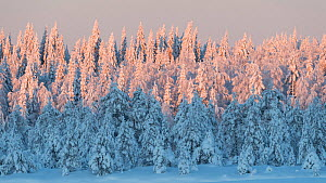 Snow covered forest in afternoon light. Central Finland. January 2019.  -  Jussi Murtosaari