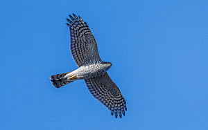 Sparrowhawk (Accipiter nisus) female in flight Korpo, Aboland, Finland. September.  -  Jussi Murtosaari