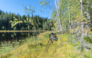 Common hawker dragonfly (Aeshna juncea) caught in Spider web. Lake and forest in background. Isojarvi National Park, Central Finland. August 2019.  -  Jussi Murtosaari