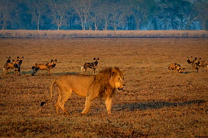 African wild dogs (Lycaon pictus), encounter a male Lion (Panthera leo) on the floodplain in Gorongosa National Park, Mozambique. Lions are one of the greatest competitors and predators of wild dogs  -  Jen Guyton