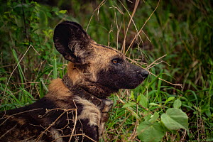 African wild dog (Lycaon pictus) fitted with tracking collar, Gorongosa National Park, Mozambique. part of the first pack to be reintroduced to the park since the end of the Mozambican Civil War, whic...  -  Jen Guyton