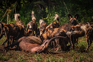 African wild dogs (Lycaon pictus) feed on a waterbuck in Gorongosa National Park, Mozambique. These individuals are part of the second pack of wild dogs to be reintroduced to the park since the end of...  -  Jen Guyton