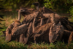 White-backed vultures (Gyps africanus) flock to finish off a wild dog pack's meal in Gorongosa National Park, Mozambique.  -  Jen Guyton