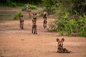 African wild dogs (Lycaon pictus) Gorongosa National Park, Mozambique. These individuals are part of the first pack of wild dogs to be reintroduced to the park since the end of the Mozambican Civil Wa...  -  Jen Guyton