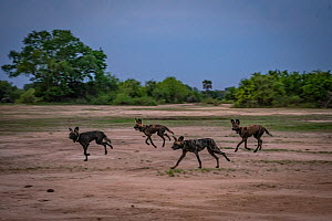 African wild dogs (Lycaon pictus) fitted with tracking collar, running in National Park, Mozambique,part of the first pack to be reintroduced to the park since the end of the Mozambican Civil War, whi...  -  Jen Guyton