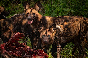 African wild dogs (Lycaon pictus) feeding on a waterbuck in Gorongosa National Park, Mozambique. These individuals are part of the second pack of wild dogs to be reintroduced to the park since the end...  -  Jen Guyton