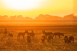 African wild dogs (Lycaon pictus) at sunset, These individuals are part of the first pack of wild dogs to be reintroduced to the park since the end of the Mozambican Civil War, which wiped out more th...  -  Jen Guyton