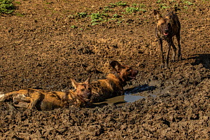African wild dogs (Lycaon pictus) walowing in mud, Gorongosa National Park, Mozambique. These individuals are part of the first pack of wild dogs to be reintroduced to the park since the end of the Mo...  -  Jen Guyton