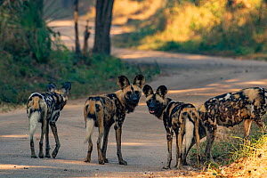 African wild dogs (Lycaon pictus) stand on the road in Gorongosa National Park, Mozambique, part of the first pack of wild dogs to be reintroduced to the park since the end of the Mozambican Civil War...  -  Jen Guyton