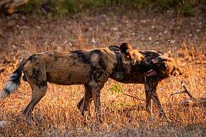 AAfrican wild dogs (Lycaon pictus) fitted with tracking collar, greeting, Gorongosa National Park, Mozambique, part of the first pack to be reintroduced to the park since the end of the Mozambican Civ...  -  Jen Guyton