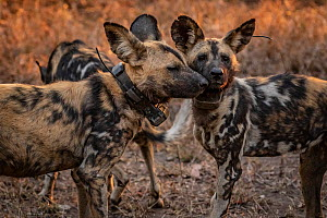 African wild dogs (Lycaon pictus) fitted with tracking collar, Gorongosa National Park, Mozambique. part of the first pack to be reintroduced to the park since the end of the Mozambican Civil War, whi...  -  Jen Guyton