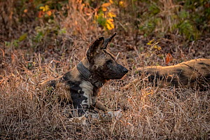 African wild dog (Lycaon pictus) fitted with tracking collar, Gorongosa National Park, Mozambique, one of the first pack to be reintroduced to the park since the end of the Mozambican Civil War, which...  -  Jen Guyton