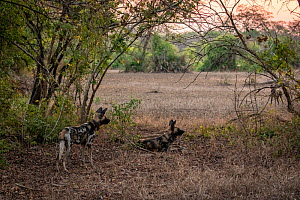 African wild dogs (Lycaon pictus) fitted with tracking collar, Gorongosa National Park, Mozambique, partof the first pack to be reintroduced to the park since the end of the Mozambican Civil War, whic...  -  Jen Guyton