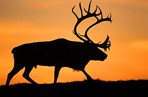 Wild reindeer (Rangifer tarandus) male silhouetted at dawn. Forollhogna National Park, Innlandet, Norway.  -  Pal Hermansen