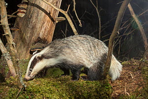 Badger (Meles meles) in forest at night, prior to logging. Akershus, Norway. Sequence 1/2.  -  Pal Hermansen