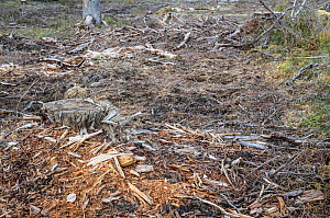 Virgin coniferous forest following logging, Badger previously photographed in this area. Akershus, Norway. Sequence 2/2.  -  Pal Hermansen