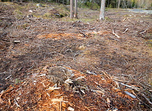 Felled virgin coniferous forest where Red squirrel was previously photographed. Akershus, Norway. Sequence 2/2.  -  Pal Hermansen