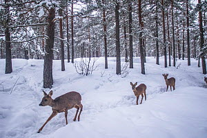 Roe deer (Capreolus capreolus) female and twin fawns walking one behind the other through snow, in forest. Buskerud, Viken, Norway. March.  -  Pal Hermansen