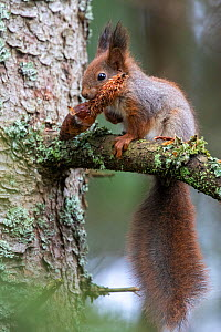 Red squirrel (Sciurus vulgaris) in tree with conifer cone in mouth. Akershus, Norway. April.  -  Pal Hermansen
