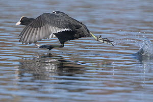 Coot (Fulica atra) taking off from water. Oslo, Norway. April.  -  Pal Hermansen