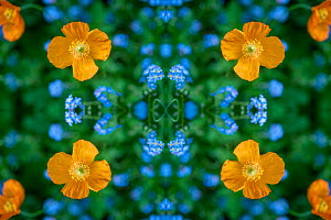Red campion (Silene dioica) and Forget-me-nots (Myosotis sylvatica). Kaleidoscopic montage.  -  Georgette Douwma